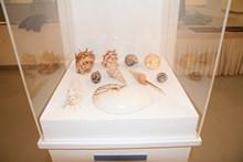 Vitrin içinde sergilenen deniz kabukluları