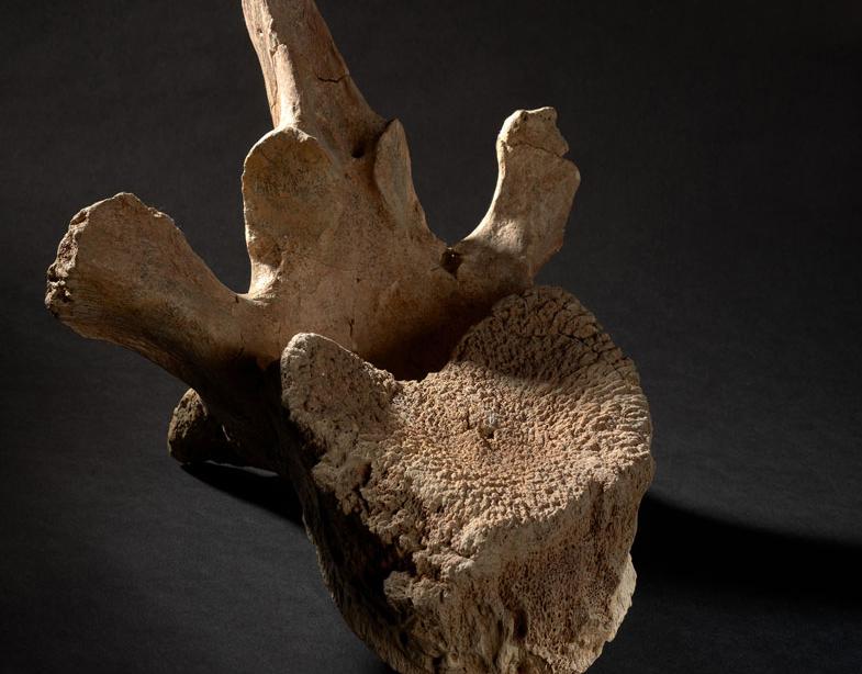 Mammuthus Meridionalis omurga fosili.